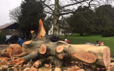 Storm Ciara brings down a huge beech tree